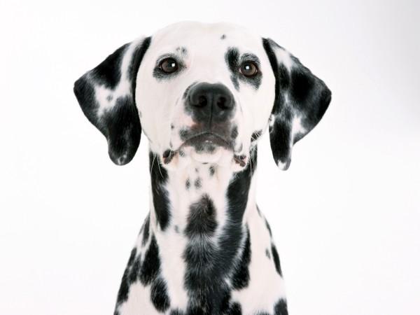 dalmatian-dog looking into the camera DogBuddy