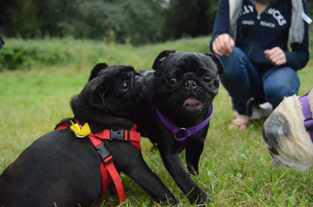 Two pups having a blast at a recent London Pugs meet-up.